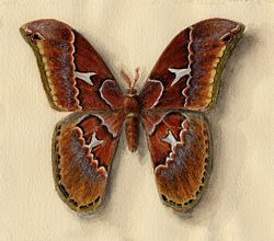 Saturnid moth watercolour and gouache painting by Lala Ragimov