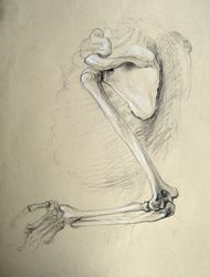 Shoulder osteology, scapula humerus ulna radius drawing by Lala Ragimov